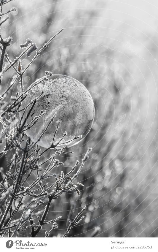 Frostig Natur Winter Eis Sträucher frieren gefroren Seifenblase Gefrorene Seifenblase Minusgrade kalt Außenaufnahme Nahaufnahme Detailaufnahme Makroaufnahme