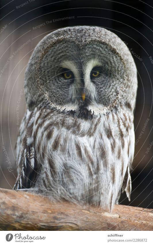 ...also doch nach Athen Tier Wildtier Tiergesicht Zoo 1 beobachten Blick außergewöhnlich Eulenvögel Eulenaugen Uhu Kauz Feder Federvieh Schnabel Redewendung
