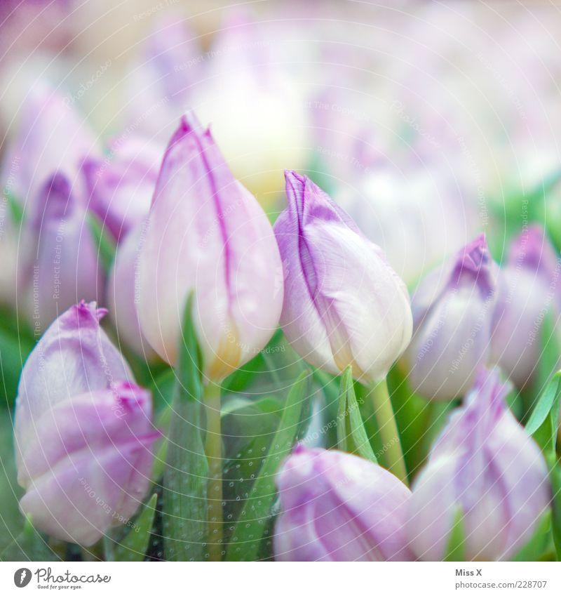 Mädchenfoto deluxe im Quadrat Natur Pflanze Blume Blatt Blüte Frühling frisch Wachstum Kitsch violett Blühend Blumenstrauß Duft Tulpe mehrfarbig