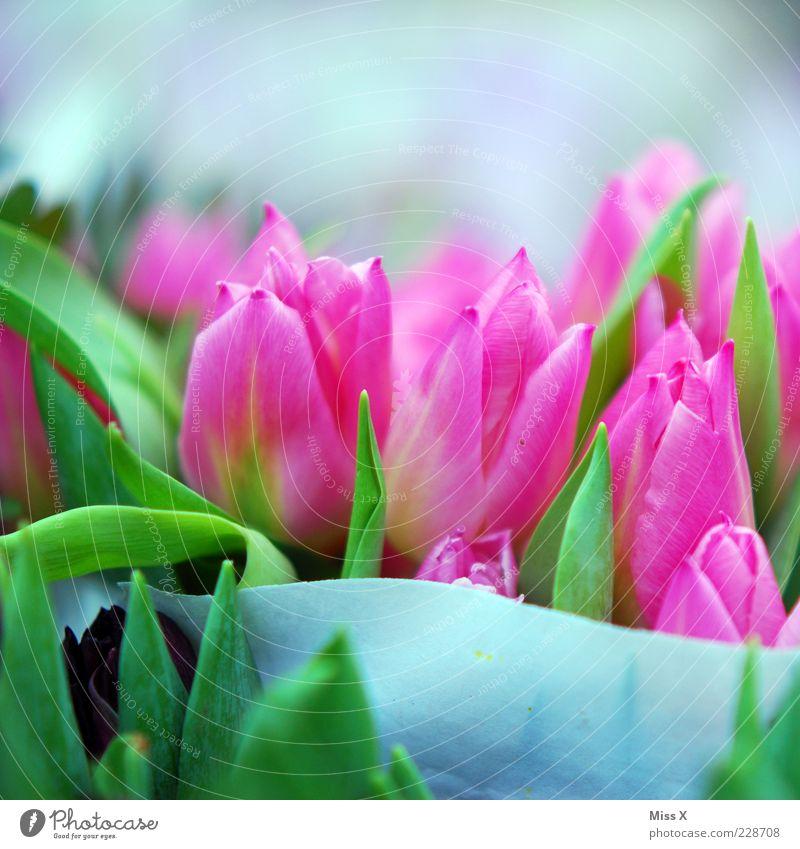 Mädchenfoto extra deluxe Natur Pflanze Blume Blatt Blüte Frühling rosa frisch Wachstum Kitsch Blühend Blumenstrauß Duft Tulpe Blütenblatt Frühlingsblume