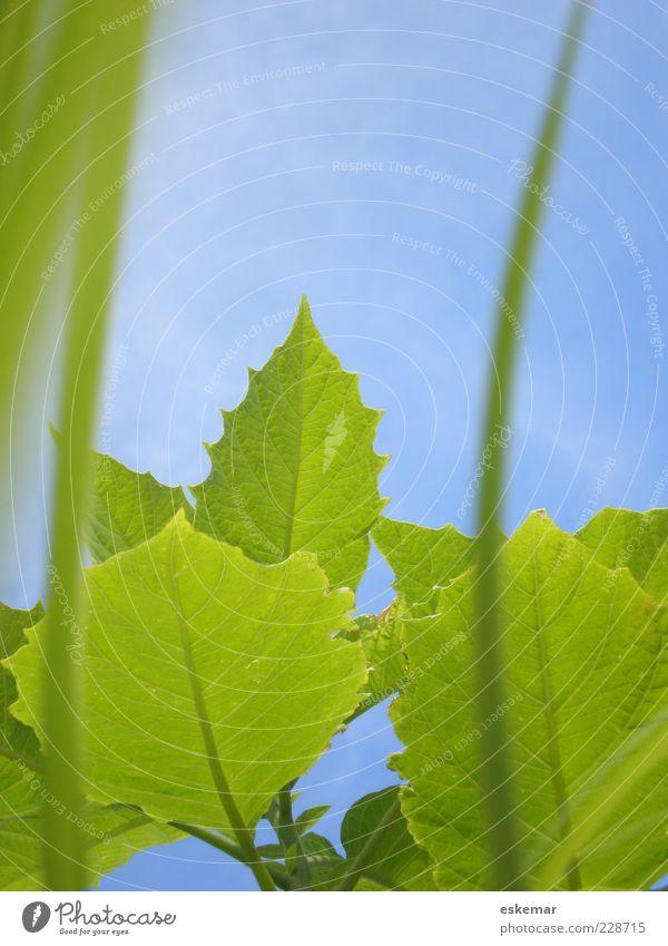 verde Sommer Natur Pflanze Himmel Wolkenloser Himmel Frühling Schönes Wetter Gras Blatt Wachstum blau grün Blattgrün Halm Botanik gedeihen Farbfoto mehrfarbig