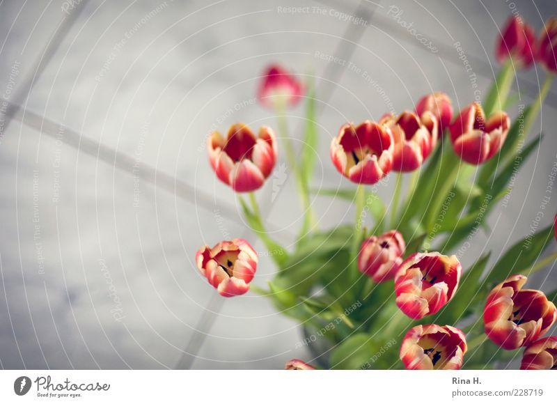Tulpen im Bad Frühling Blume Blühend ästhetisch Blumenstrauß rot Farbfoto Innenaufnahme Textfreiraum links Schwache Tiefenschärfe Boden Unschärfe Menschenleer