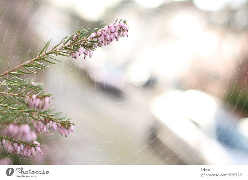 Stadtnatur statt Natur Pflanze Frühling Sträucher Heidekrautgewächse