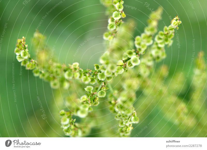Samenstränge | drunter & drüber Natur Pflanze grün Gras oben Sträucher viele unten durcheinander Grünpflanze pflanzlich Fruchtstand Pflanzenteile Gräserblüte