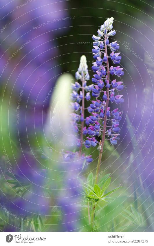 Wolf in purpur Natur Pflanze Sträucher Nutzpflanze Wildpflanze Duft violett Lupinenblüte Lupinenfeld Lupinenblatt Stauden Vegetarische Ernährung Außenaufnahme
