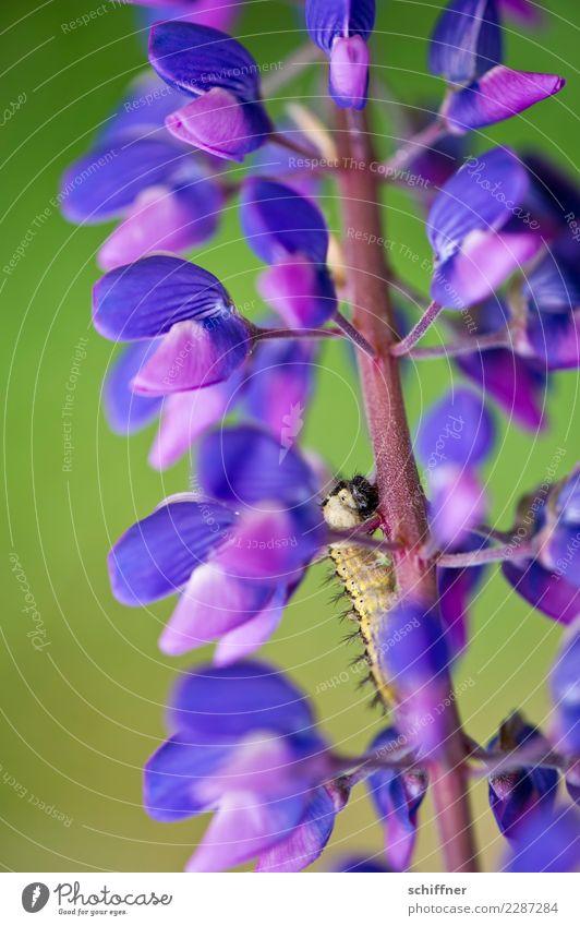 Nimmersatt Natur Pflanze Tier Blüte Wildtier violett Fressen Blütenstauden Blütenpflanze Raupe Lupine Lupinenblüte