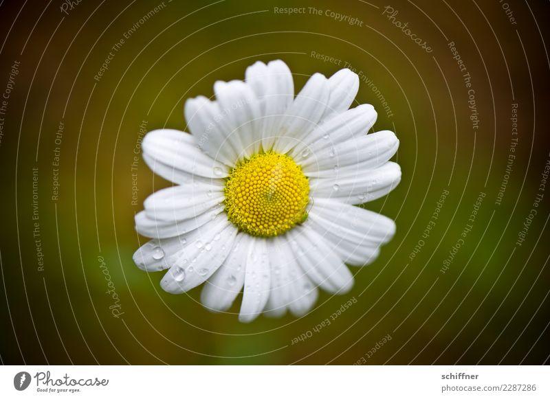Nullachtfünfzehn | Jedes Jahr aufs Neue von oben Natur Pflanze Blume Blühend gelb weiß Gänseblümchen Blüte Liebeskummer Traurigkeit Regen Wassertropfen