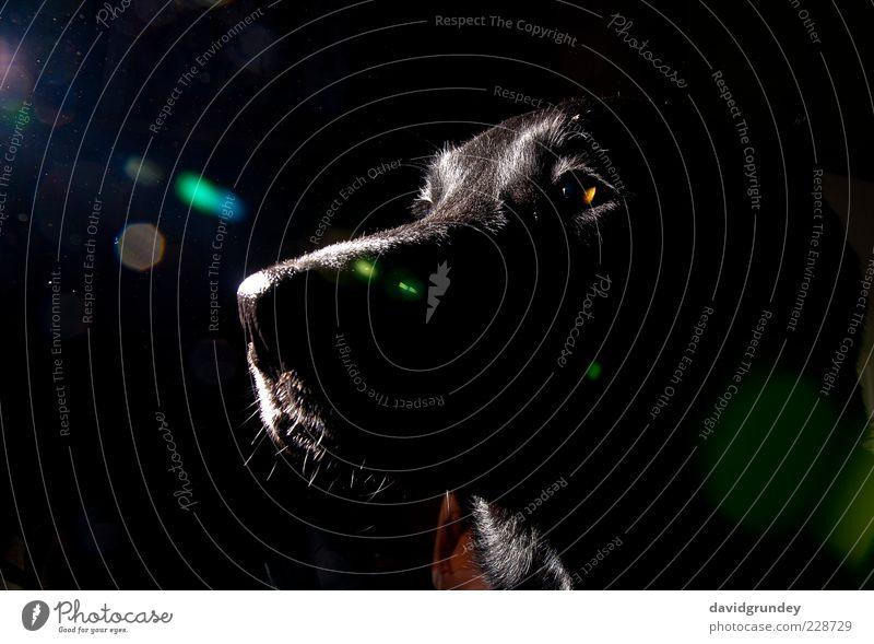 Georg I. Haustier Hund Tiergesicht 1 braun schwarz selbstbewußt Coolness loyal Farbfoto Gedeckte Farben Innenaufnahme Menschenleer Blitzlichtaufnahme Kontrast