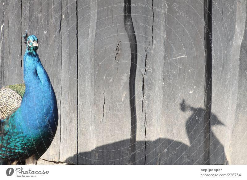 –I ___I Sommer Zoo Tier Wildtier Vogel Tiergesicht 1 Brunft blau grau grün Farbfoto Außenaufnahme Nahaufnahme Detailaufnahme Menschenleer Tag Licht Schatten