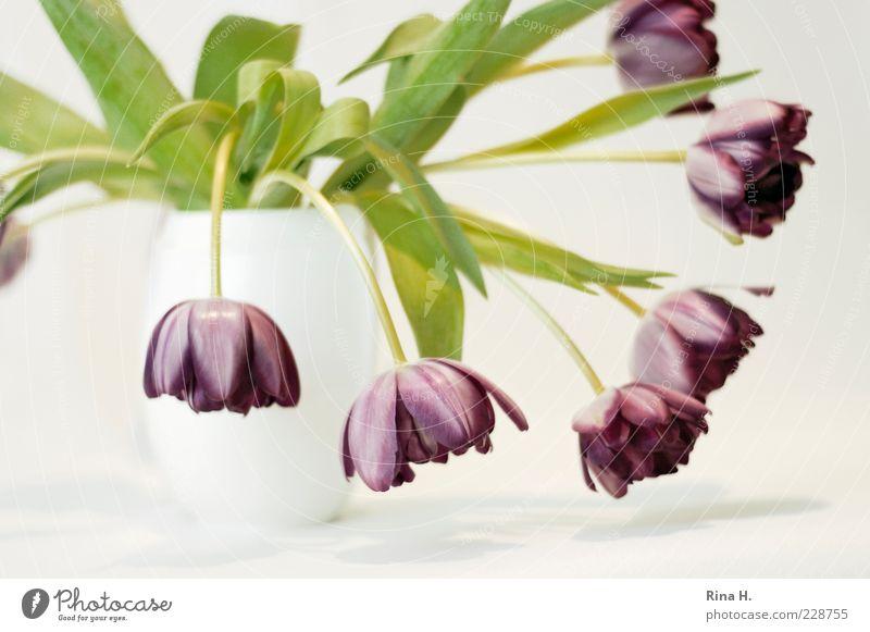 Still mit Tulpen II Blume Blühend verblüht ästhetisch violett weiß Vergänglichkeit Vase Farbfoto Innenaufnahme Textfreiraum unten Schwache Tiefenschärfe