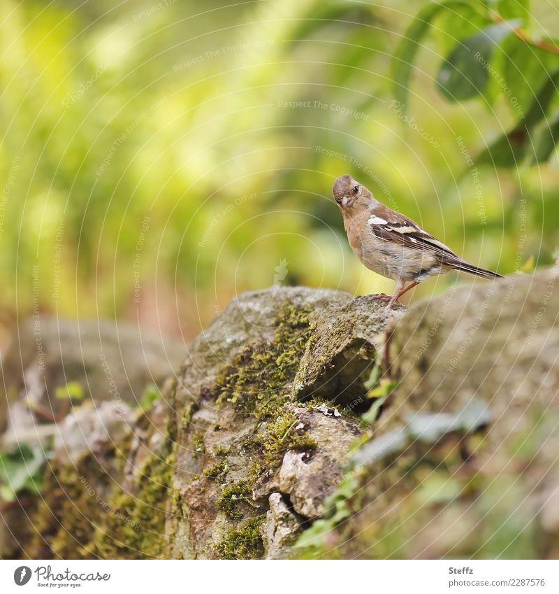 Volle Aufmerksamkeit Umwelt Natur Sommer Garten Park Vogel Wildvogel Buchfink Fink weibchen beobachten Blick klein Neugier niedlich wild braun grün achtsam