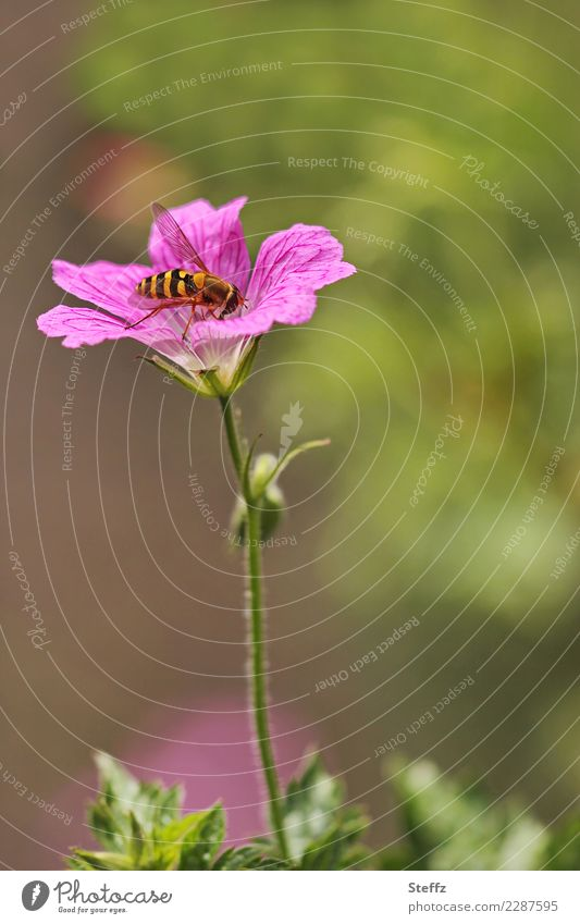 An einem schönen Sommertag Schwebfliege Schönes Wetter Blume Blüte Wildpflanze Blütenblatt Sommerblumen Garten Fliege Insekt Flügel klein natürlich grün rosa