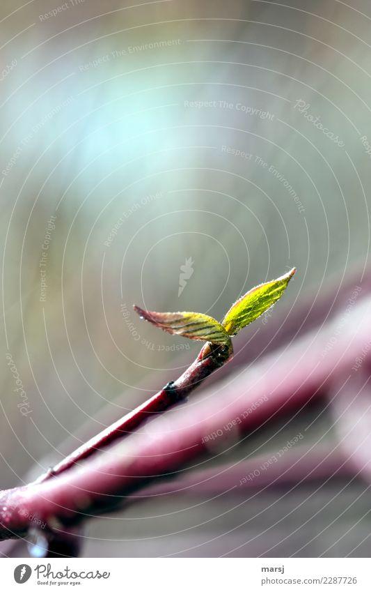 wachsen und gedeihen | zweiblättrig Leben harmonisch Natur Frühling Pflanze Blatt Ast Hartriegel Zweig 2 leuchten Wachstum dünn authentisch frisch Zusammensein