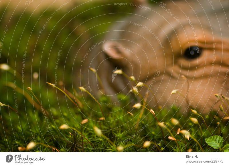 Auf der Lauer ( Hippo im Moos II ) Pflanze Tier Frühling Wildtier 1 warten authentisch Kitsch Flußpferd Spielzeug Dekoration & Verzierung künstlich skurril