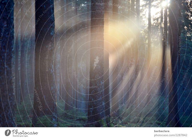 Krimi | Es wird Nacht... Urelemente Sonne Wald leuchten dunkel gruselig Stimmung Natur Sinnesorgane Umwelt Farbfoto Außenaufnahme Menschenleer Abend Dämmerung