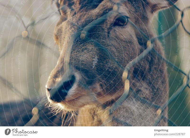 Hinter Gittern Natur Tier Auge gelb braun gold Wildtier leuchten weich beobachten Tiergesicht Warmherzigkeit Fell Zaun sanft