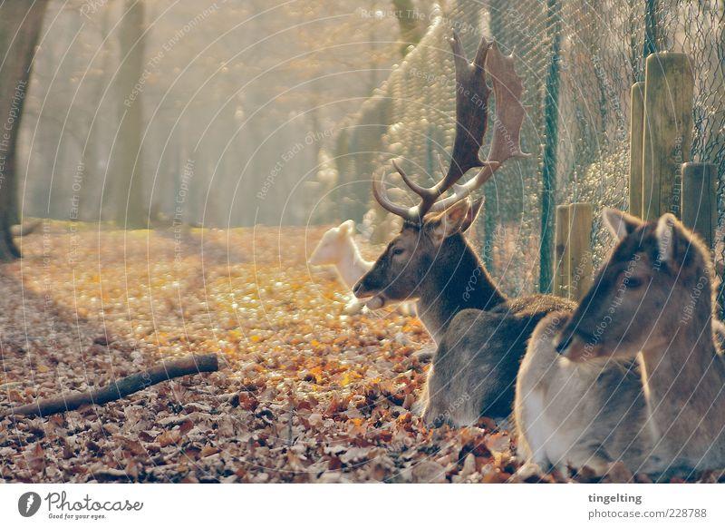 Ruhe Natur Baum Sonne Blatt gelb braun gold Tiergruppe Warmherzigkeit Zaun Schönes Wetter Horn Zusammenhalt Herbstlaub Hirsche Reh