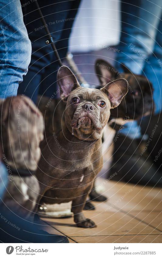 Was guckst du?! Veranstaltung Show Hundeausstellung Tier Haustier Bulldogge 3 Tiergruppe warten frech Neugier niedlich Konkurrenz vergleichen Freizeit & Hobby