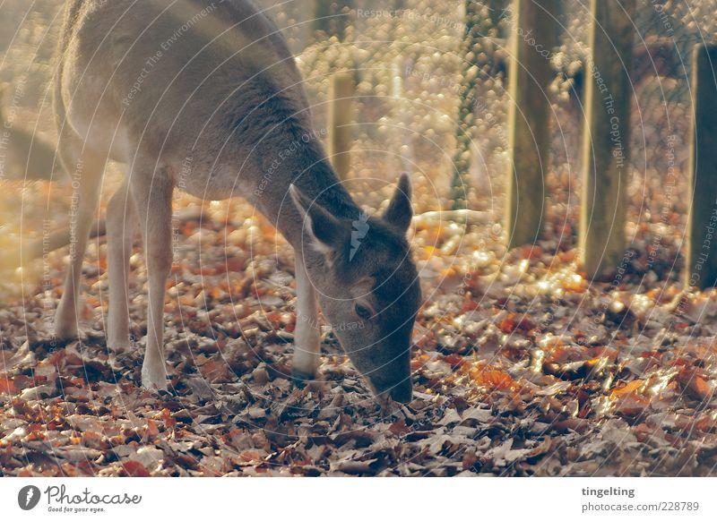 Ganz für sich Natur Sonne Blatt gelb braun elegant gold Wildtier weich Fell Zaun Schönes Wetter Herbstlaub Fressen Reh Wildpark