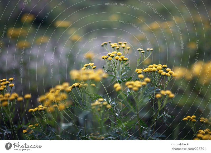 camille . Natur Pflanze Sommer Sträucher Blüte kalt blau gelb grün Kamille Kamillenblüten Farbfoto Gedeckte Farben Außenaufnahme Detailaufnahme Menschenleer