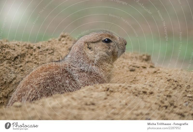 Vorsichtig umsehen Natur Tier Sand Sonne Schönes Wetter Wildtier Tiergesicht Fell Präriehund Nagetiere Kopf Auge Nase 1 bauen beobachten Blick warten nah