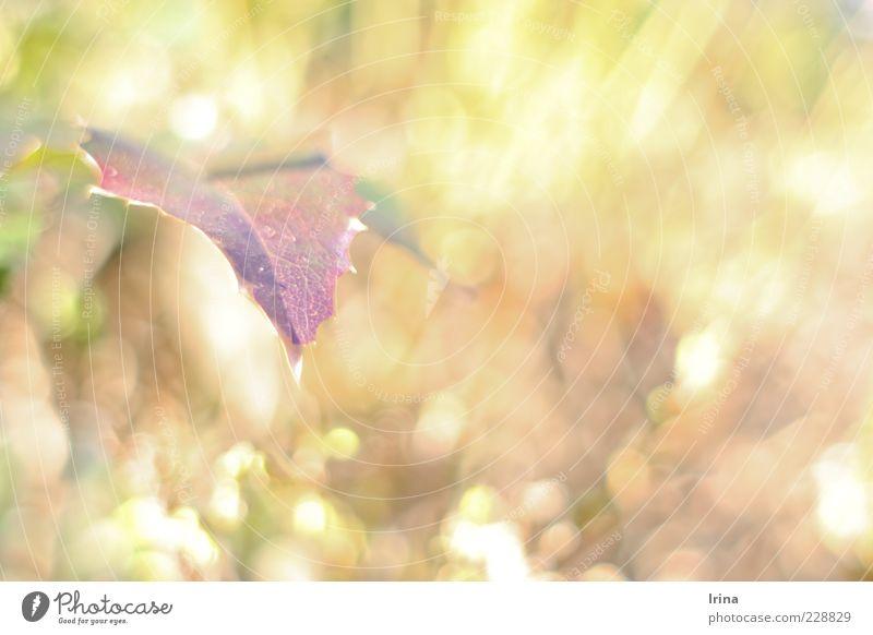 Caribou - Sun Pflanze Blatt Farbe Frühling Frühlingsgefühle Reflexion & Spiegelung Weinblatt