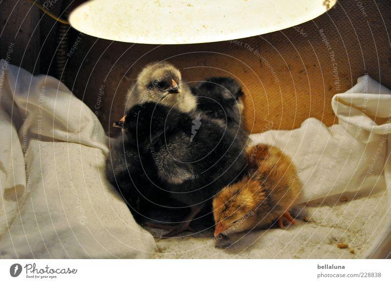 5 halbe Broiler bitte! schön Tier schwarz gelb Tierjunges braun Vogel Tiergruppe Haustier Haushuhn Tierzucht Nutztier Nachkommen Küken mehrfarbig Brutpflege