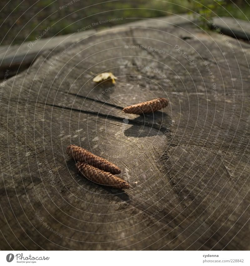 Der Zapfen fällt nicht weit vom Stamm Natur schön ruhig Leben Umwelt Freiheit Holz träumen elegant liegen 3 ästhetisch einzigartig Vergänglichkeit Idylle