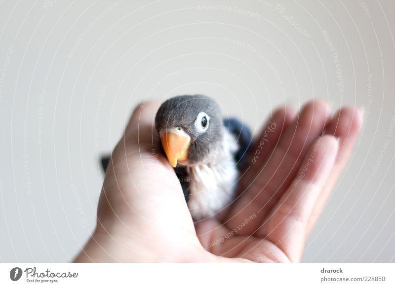 Mensch Hand blau weiß schwarz Tier Liebe Freundschaft Vogel Tierjunges Zusammensein sitzen Flügel Feder niedlich Tiergesicht