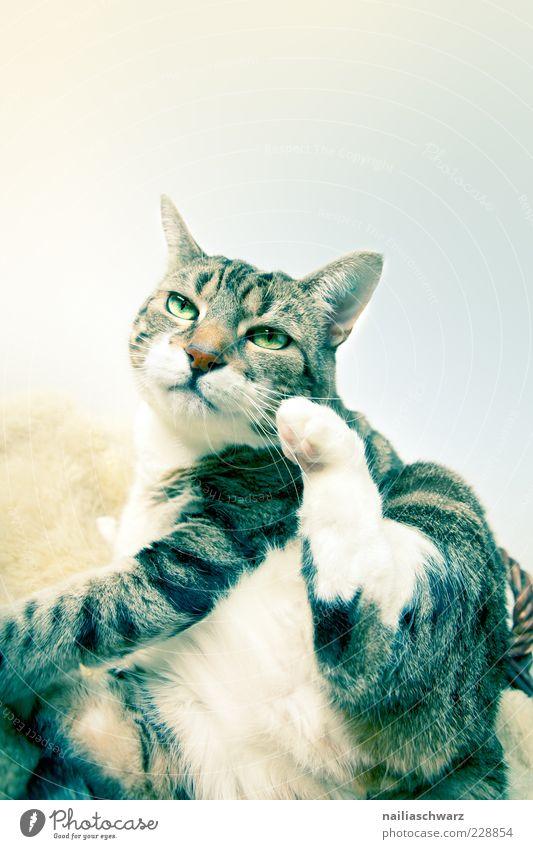 Katze Tier Haustier 1 sitzen dick braun gelb schwarz weiß Farbfoto Innenaufnahme Nahaufnahme Menschenleer Textfreiraum rechts Textfreiraum oben
