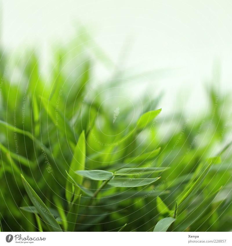 Bambus Pflanze Gras Grünpflanze exotisch frisch grün Nahaufnahme Frühling Frühlingsgefühle Farbfoto Innenaufnahme Menschenleer Tag Unschärfe Natur