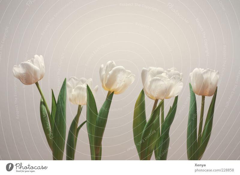 Reihenaufstellung Pflanze grün weiß Blume Blatt Frühling Blüte Blühend Hoffnung Stengel Blütenblatt Tulpe Frühlingsgefühle Frühlingsblume aufgereiht