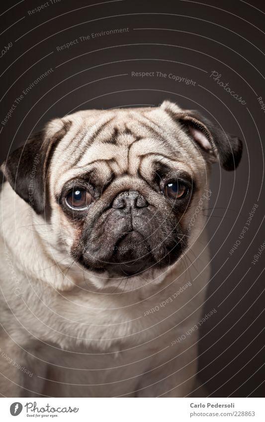 Diego3 Einsamkeit Tier Gefühle grau Hund klein Hoffnung niedlich weich Tiergesicht Sehnsucht Falte Fell dick Müdigkeit Langeweile