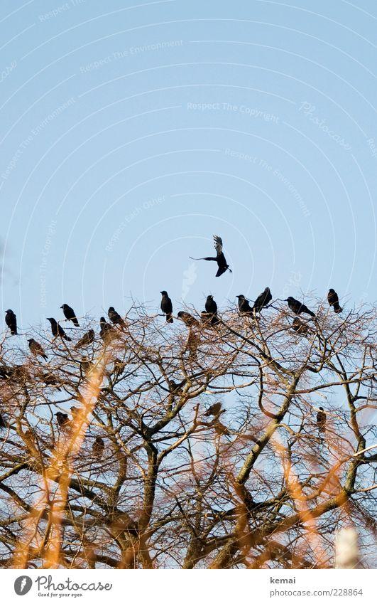 Die 20 Raben Natur Baum Pflanze Tier Umwelt Vogel sitzen fliegen Wildtier Tiergruppe Ast Schönes Wetter Zweig Baumkrone Blauer Himmel hocken
