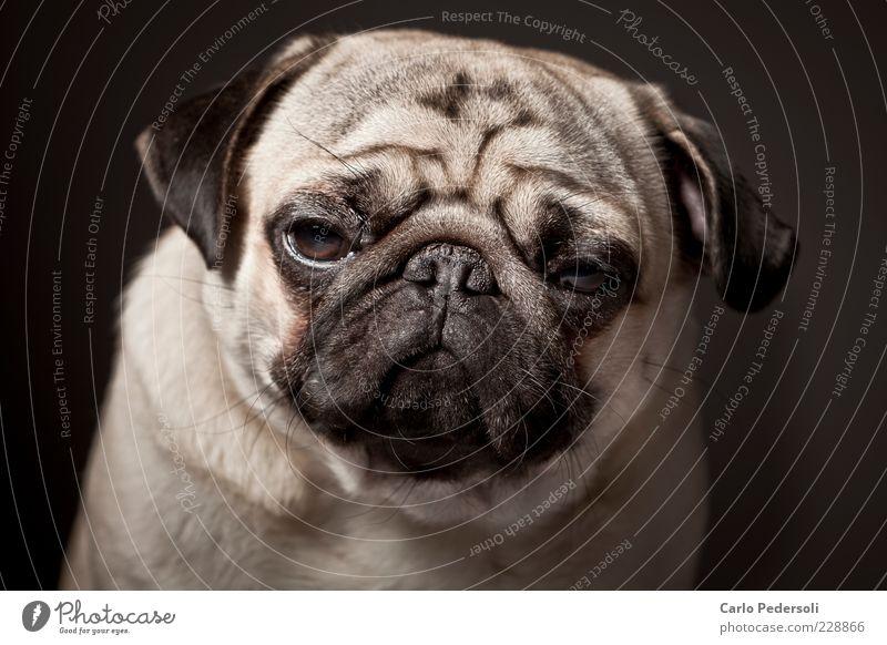 Diego4 ruhig Einsamkeit Tier Erholung Gefühle grau Hund klein Traurigkeit schlafen Coolness Tiergesicht Falte dick Müdigkeit Langeweile