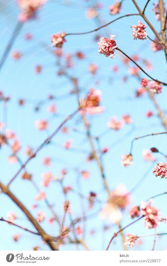 Rosa gepunktet Himmel Ferien & Urlaub & Reisen blau Sommer Erholung Blüte Frühling Glück Feste & Feiern Stimmung rosa Dekoration & Verzierung Blühend