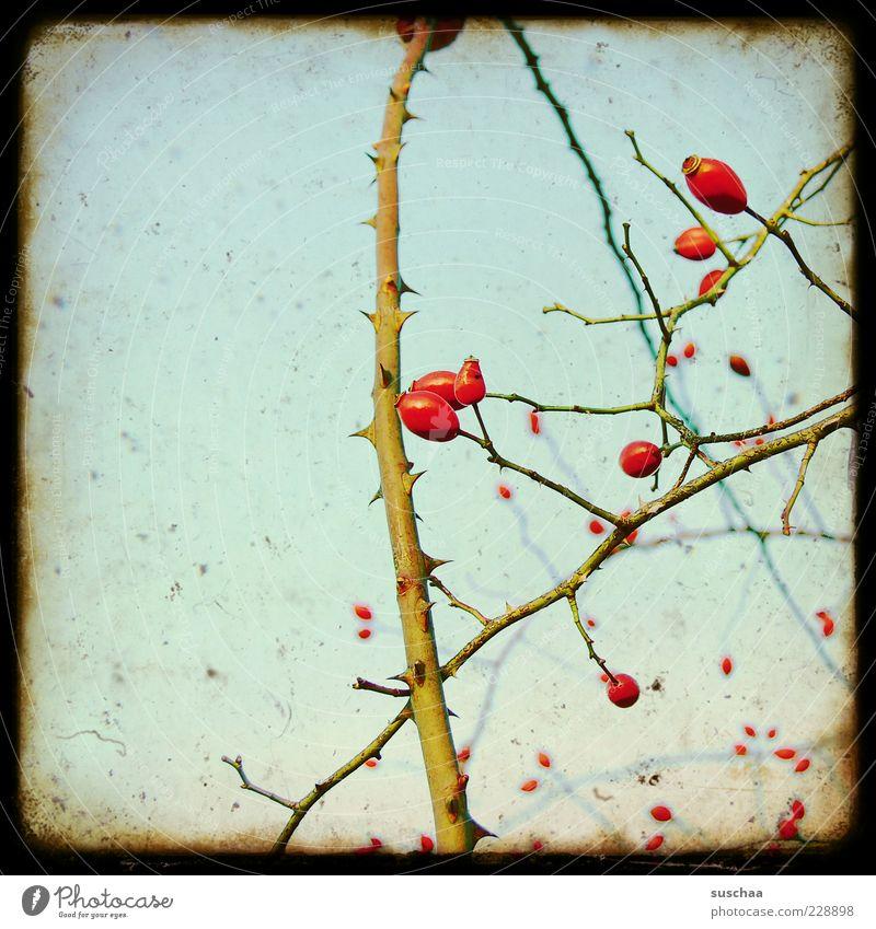 stachlige biester Umwelt Natur Pflanze Himmel Herbst Sträucher Wachstum Dorn Ranke Farbfoto Experiment Menschenleer Textfreiraum links Hundsrose Frucht