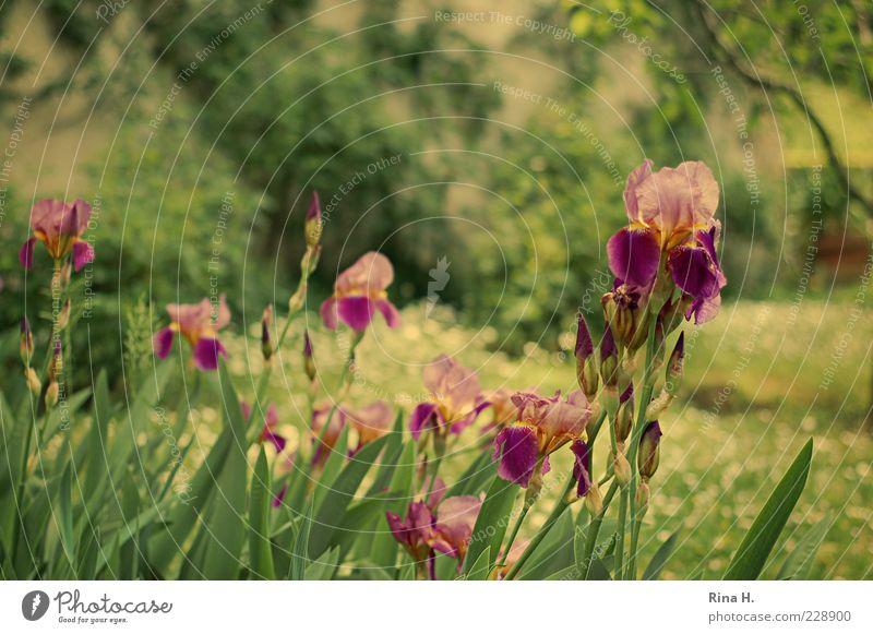 Tivoli Natur Pflanze Sommer Schwertlilie Garten Park Wiese Blühend natürlich Blütenknospen Farbfoto Außenaufnahme Schwache Tiefenschärfe Blume Stengel Blatt