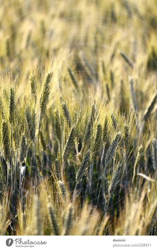 auf dem Feld Natur grün Pflanze gelb braun Feld natürlich viele Landwirtschaft Blühend Schönes Wetter reif eng Ähren Nutzpflanze