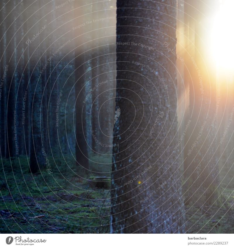Trash 2018 | Abendlicht im Wald Pflanze Sonne Winter Baum leuchten dunkel hell Stimmung Ende Gefühle Klima Natur ruhig Umwelt Farbfoto Außenaufnahme