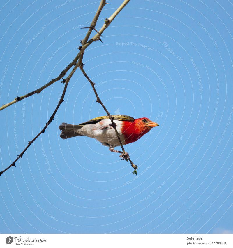 Scharlachweber Natur Ferien & Urlaub & Reisen Baum Tier Ferne Umwelt natürlich Tourismus Vogel Ausflug Wildtier Ast Wolkenloser Himmel Afrika Tiergesicht