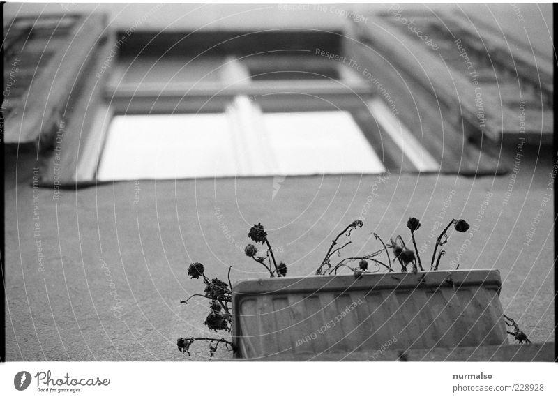 Fenster mit Aussicht Häusliches Leben Haus Umwelt Blume Fassade hängen verblüht Klima stagnierend Blumenkasten Schwarzweißfoto Froschperspektive