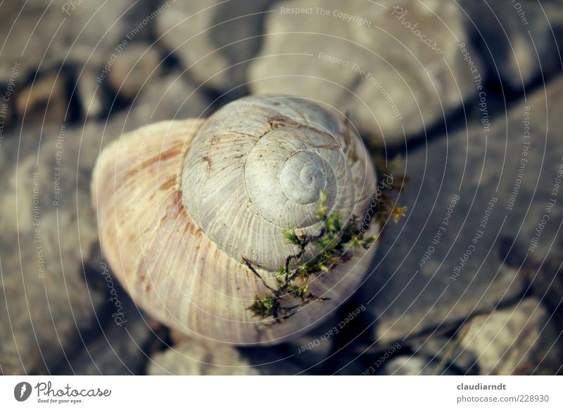 Eigenheim Umwelt Natur Tier Moos Schnecke 1 schleimig grau Schneckenhaus Stein Spirale Einsamkeit Versteck ruhig bewohnt Gedeckte Farben Nahaufnahme