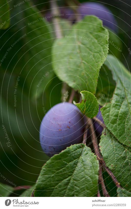steinig|es Obst II Pflanze Baum Nutzpflanze Garten grün violett Frucht Obstbaum Obstgarten Pflaume Pflaumenbaum Pflaumenblatt Außenaufnahme Menschenleer