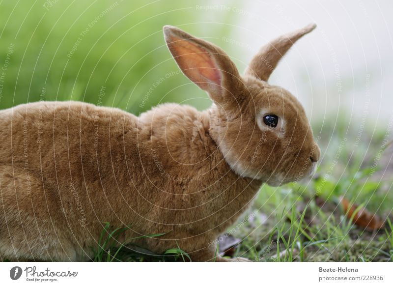Licht in Sicht, Ostern naht! Natur schön Tier Auge Wiese Kopf Gras Frühling braun ästhetisch Wildtier beobachten Tiergesicht Fell