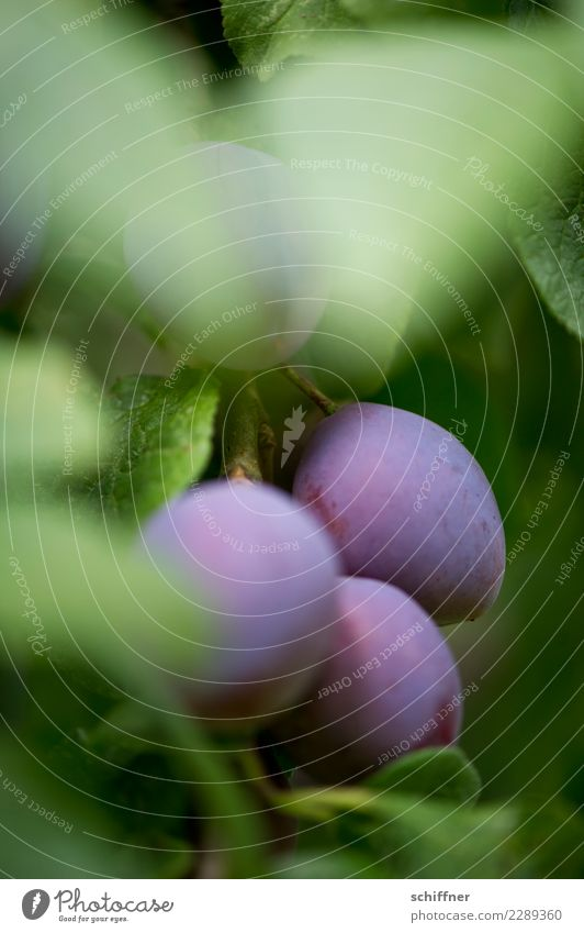 Reife Früchtchen Natur Pflanze Herbst Baum Nutzpflanze grün violett reif Frucht Obstbaum Obstgarten Pflaume Pflaumenbaum Pflaumenblatt Ernte sauer süß