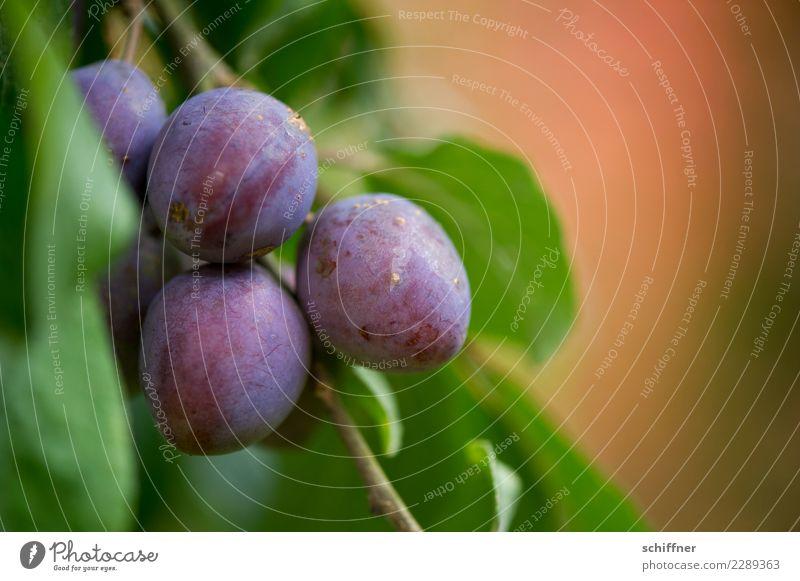steinig|es Obst I Pflanze Baum Nutzpflanze Garten grün violett lecker Frucht Obstbaum Obstgarten Pflaume Pflaumenbaum Pflaumenblatt Außenaufnahme Menschenleer
