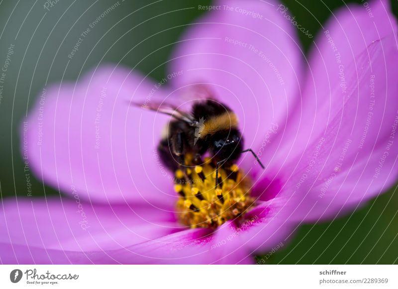 Pinker Puff für Hummel, besetzt Umwelt Natur Pflanze Tier Blume Blüte 1 rosa Blütenknospen Blütenblatt Blütenstempel Blütenpflanze Blütenkelch Nektar