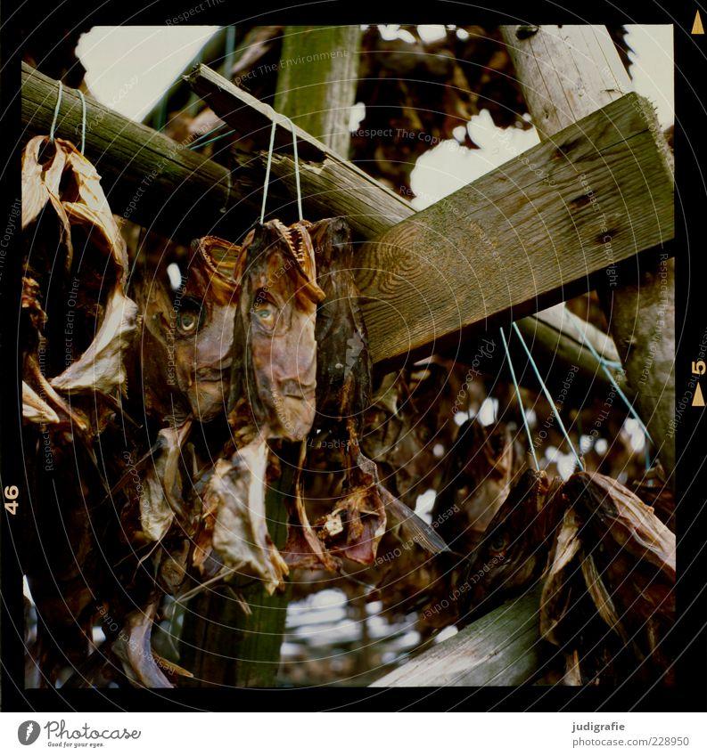 Island Auge dunkel Ernährung Tod Holz Lebensmittel Stimmung braun Fisch viele trocken Schnur trocknen aufhängen Gerüst hängend