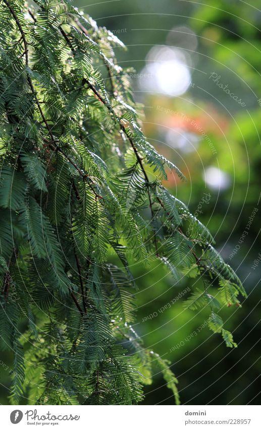 Tanne im Park Natur grün Baum Pflanze Sommer ruhig Umwelt Ast Zweig Nadelbaum Tannenzweig herunterhängend